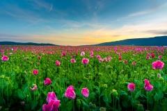 Blühende Mohnfelder bei Germerode im Sonnenuntergang