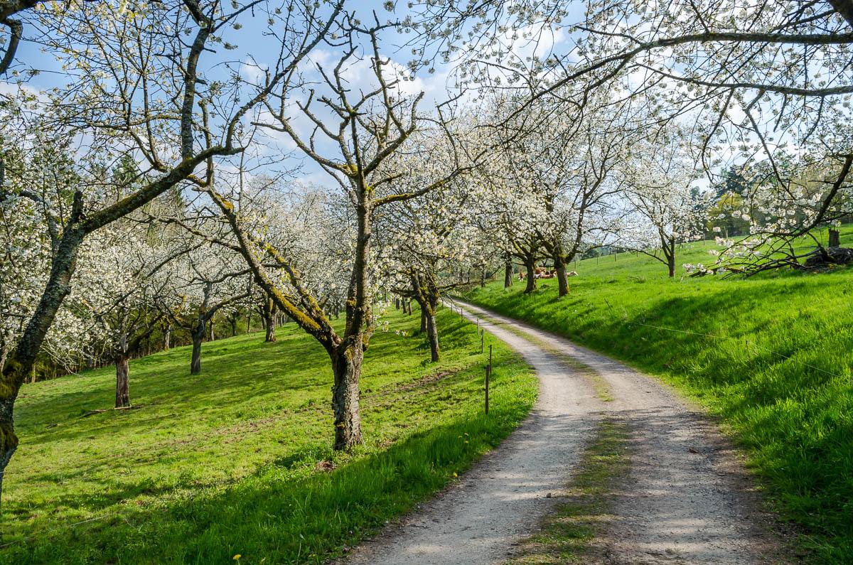 Kirschblüten Wanderweg